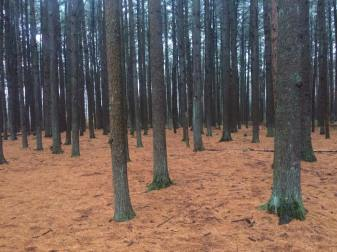 pine-monoculture