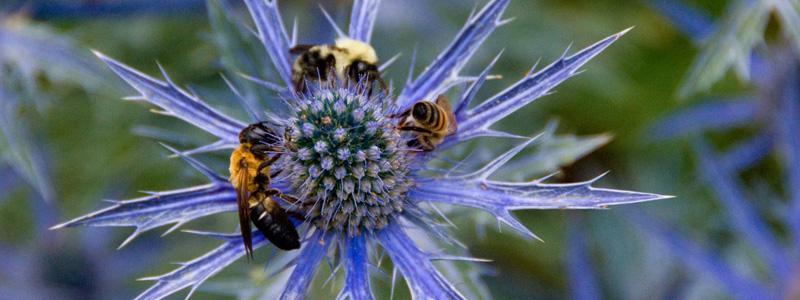 Bee-flower
