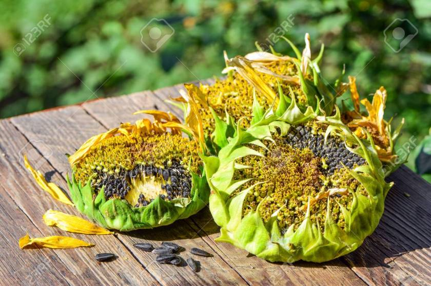 Sunflower inflorescence with ripe seeds