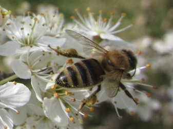 honeybees-on-hawthorn-2