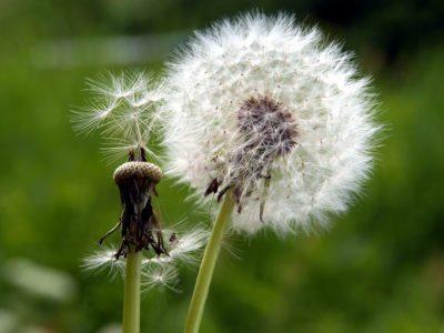 dandelion-seed-head-400x300