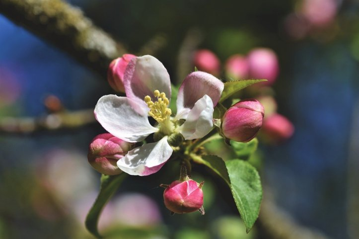 apple-blossoms-4159454_1280