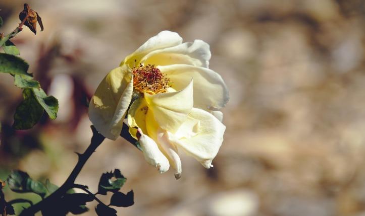 rose-4574294_1280