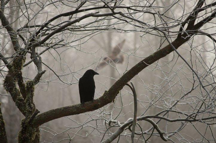 crow-2397589_1280
